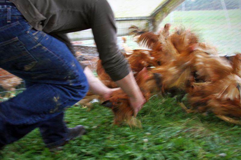Já tentou pegar uma galinha?