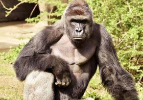 Os 'homicídios' dos jacarés e do gorila