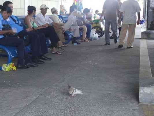 Pombo se alimenta no terminal de ônibus urbanos na antiga Estação Ferroviária