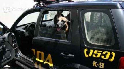 Thor é um dos cães farejadores da Guarda Municipal
