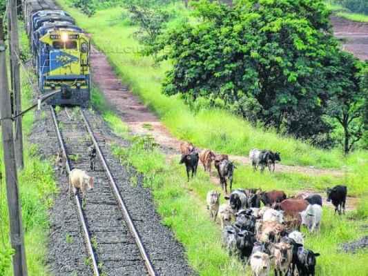 Cerca de 40 animais circulam pela linha férrea com trem em movimento. Maquinista teve que reduzir a velocidade e acionar a buzina para afastar os bovinos do caminho