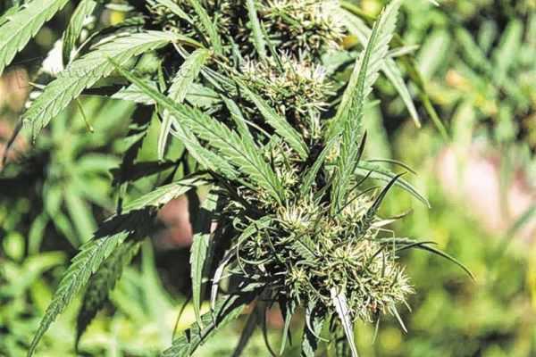 Maneira como o usuário vai adquirir a droga deve depender ainda das determinações legais acordadas depois da aprovação