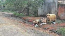 Porca com filhotes flagrados em rua do Jardim Nova Rio Claro