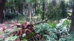 SEM GARANTIAS DE SEGURANÇA: de acordo com as autoridades, nem mesmo as árvores em bom estado estão livres de quedas, por fatores climáticos