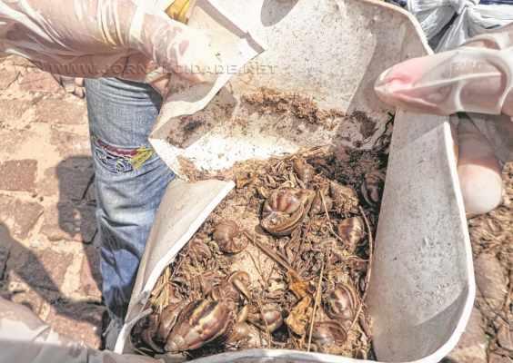 Catação de caramujos deve ser feita de forma manual com as mãos protegidas com luvas. Cerveja é uma boa armadilha para pegar os animais