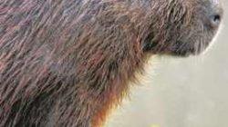 Capivaras são os principais hospedeiros do carrapato-estrela que transmite a febre maculosa