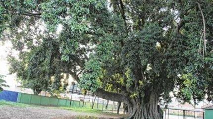 Das três figueiras centenárias da região central, apenas uma continua intacta: a que fica dentro da Escola Cel. Joaquim Salles; já a figueira da Boa Morte foi substituída