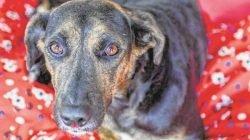 Os almofadões, ou minicolchões, começaram a ser distribuídos nas baias para que os cães já se sintam mais protegidos e aquecidos