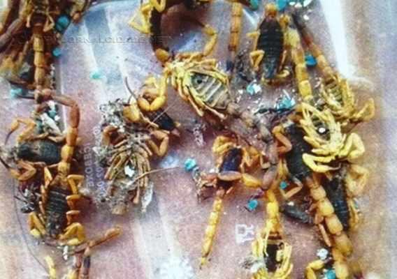 Infestação de escorpiões na área central de Santa Gertrudes vem gerando queixas de moradores